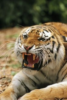 Siberian / Amur TIGER - close-up of head roaring
