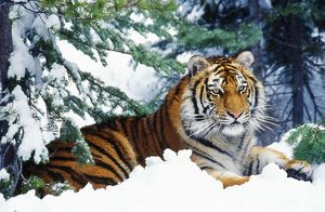 Siberian / Amur TIGER - lying in snow