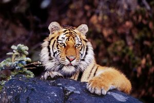 Siberian / Amur TIGER - resting on rock
