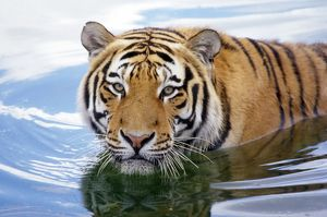 Siberian / Amur TIGER - wading in water