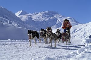 Siberian Husky Dogs and Musher running with Sledge