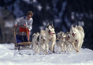 Siberian Husky Dogs with Musher running with sledge