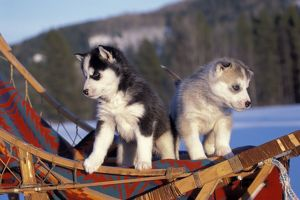 Siberian Husky DOGS - Two puppies playing on sledge