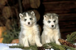 Siberian Husky - Puppies sitting in snow with fir