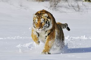 Siberian Tiger / Amur Tiger running through winter snow
