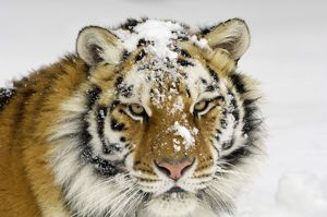 Siberian Tiger / Amur Tiger - in winter snow