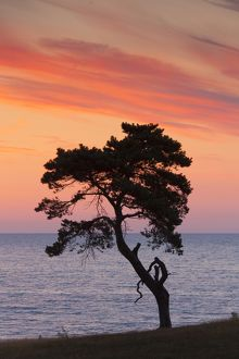 Silhouette of Norway Pine, a solitary tree near the sea, sunset