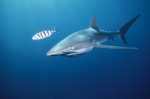 Silky SHARK - with striped fish