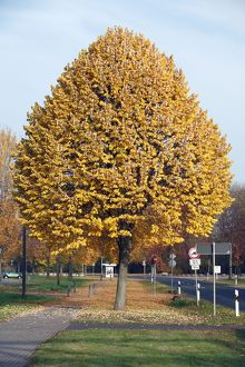 Silver Lime Tree - by road - autumn