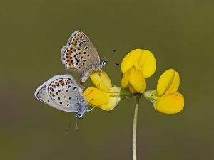 Silver-studded Blue Butterflies mating female above