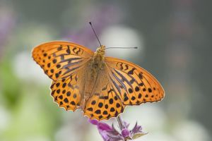 Silver Washed Fritillary Butterfly - male