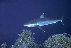 Silvertip Reef Shark - these beautiful sharks grow to 3 plus meters in length and can be dangerous to humans.