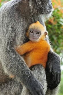 Silvery Lutung / Silvered Leaf Monkey / Silvery Langur - mother with baby