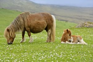 Skewbald Shetland Pony - mare grazing and foal resting on pasture