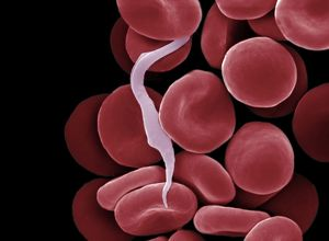 Sleeping Sickness Parasite in red blood cells