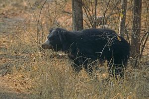 Sloth Bear - after eating termites