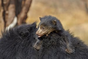 Sloth Bear mother carrying baby on back