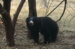 Sloth BEAR - in wooded area