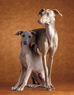 Small Italian Greyhounds - Two together