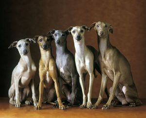 Small Italian Greyhounds - Five sitting down together
