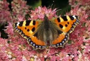 Small Tortoiseshell Butterfly - on ice plant