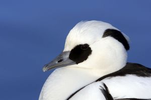 Smew - Head Shot