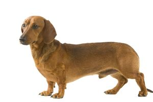 Smooth-haired Dachshund / Teckel