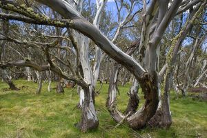 Snow Gums - forest of Snow Gums growing in Victoria's Highcountry