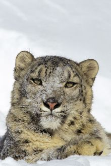 Snow Leopard - face and front paw, sitting in snow, some snow on face