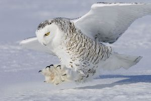 Snowy Owl - in flight