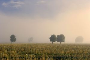 Southern Beech Trees - in morning fog and on deforested agricultural land