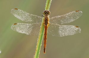 Southern Darter DRAGONFLY