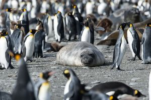 Southern Elephant Seal amongst King Penguin colony
