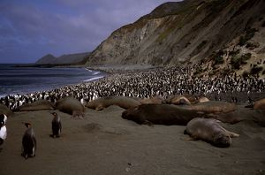 Southern elephant seals (Mirounga leonina) on beach.with King penguins and Royal penguins. Macquarie Island (World Heritage Area), Sub-Antarctic, administered by Tasmania, Australia
