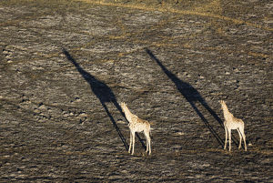 Southern Giraffe - two males in the late evening
