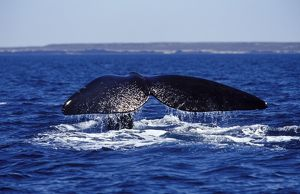Southern Right Whale flukes