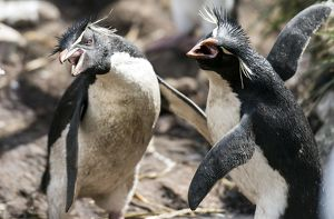 Southern Rockhopper Penguins adults squawking