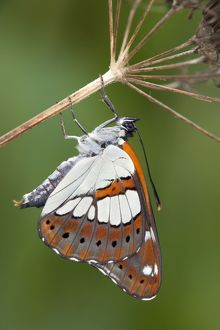 Southern White Admiral Butterfly - controlled conditions
