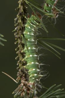 Spanish Moon Moth - caterpillar of the hybridisation