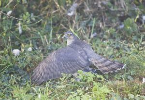 Sparrowhawk - adult female shielding its Wood Pigeon kill