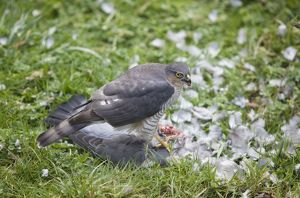 Sparrowhawk - female feeding on a Wood Pigeon