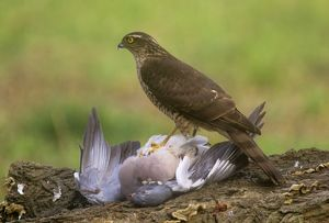 Sparrowhawk - with pigeon prey