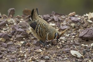 Spinifex Pigeon - male displaying