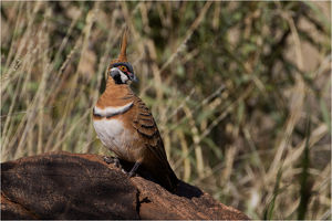 Spinifex Pigeon - Perched on a rock among spinifex