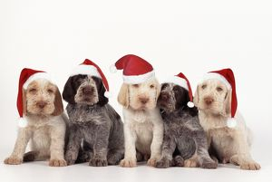 spinone dog puppies wearing christmas hats