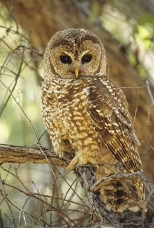 Spotted Owl - Inhabits thickly wooded canyons, humid forests, strictly nocturnal. Uncommon, decreasing in numbers and range due to habitat destruction