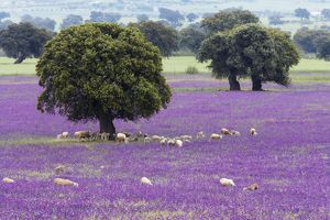Spring Flowers, Stone Oaks & Grazing Sheep