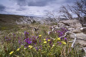 spring wildflowers - blooming alpine hovea and other spring wildflowers, together with windswept