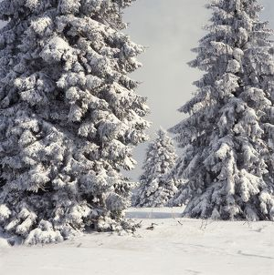 Spruce Fir Trees - covered in snow