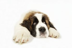 St Bernard Dog - 14 week old puppy